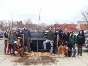 A Shingle oak is the first planted tree of the new year. West Broadway.